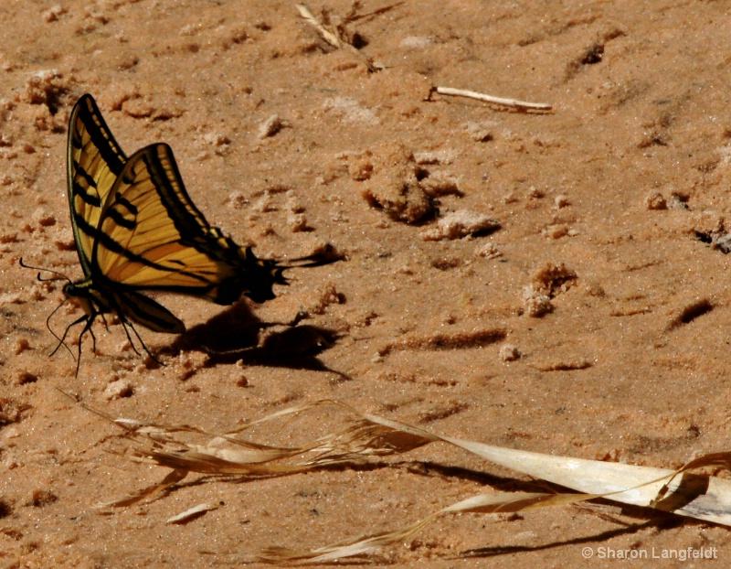 Tiger Swallow Tail, Zion Park - ID: 8800733 © Sharon L. Langfeldt