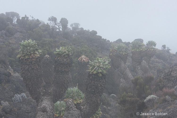Senecio Kilimanjari - ID: 8802107 © Jessica Boklan