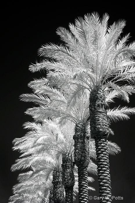 Palms-In-A-Row - ID: 8803367 © Gary W. Potts