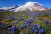 Mount Rainier Lup...