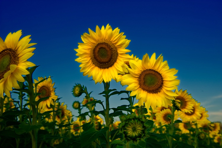 Sunflowers - ID: 8815418 © Stacy Lankford