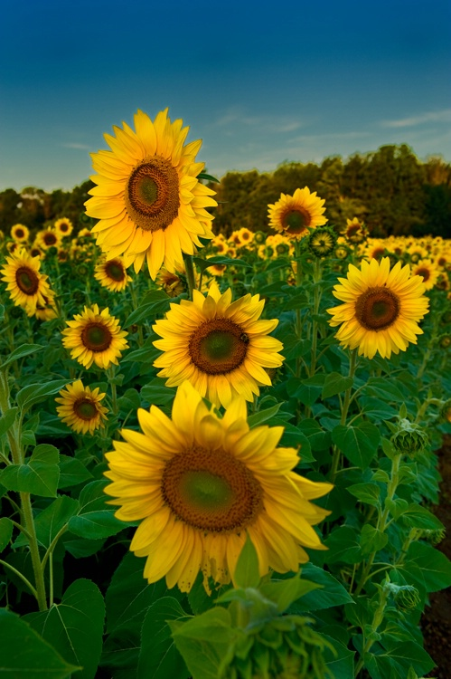 Sunflowers - ID: 8815419 © Stacy Lankford