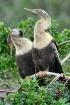 Nesting Anhinga