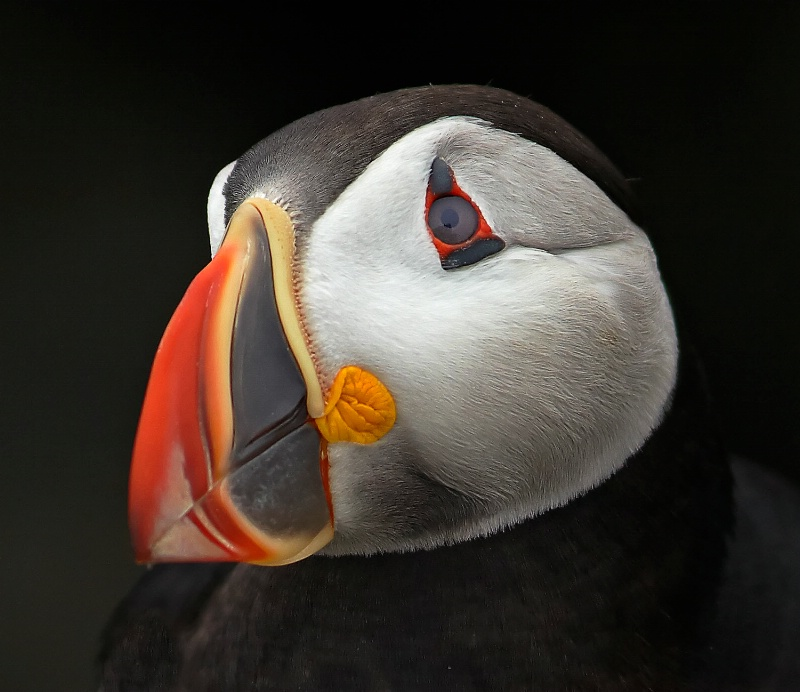 Puffin Portrait 2