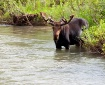 Moose in the rive...