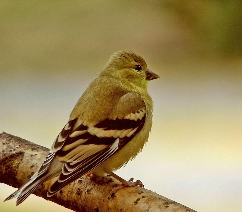 American Goldfinch fledgling