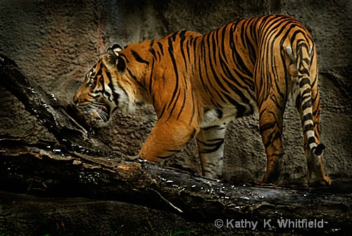 Tiger - ID: 8840056 © Kathy K. Whitfield