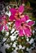 Orchid Tree bloss...