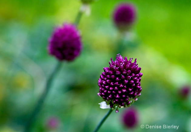 allium - ID: 8864080 © Denise Bierley
