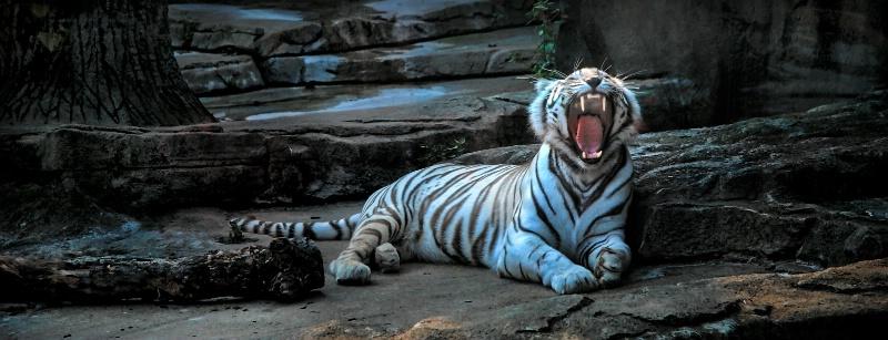 Tiger Fangs 2