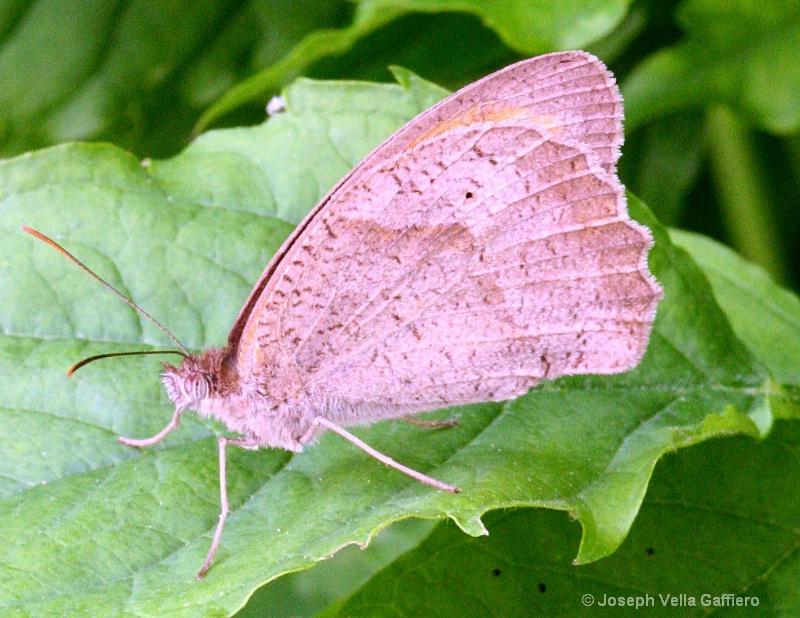 meadow brown - ID: 8868470 © Joseph Mr. Vella Gaffiero