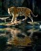 Potowatami Tiger