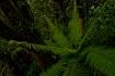 Dwarf Forest Fern