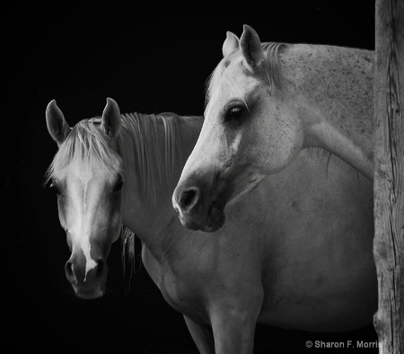 Arabian Filly and Mare