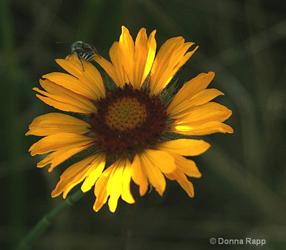 brown-eyed susan and bee - ID: 8917852 © Donna Rapp