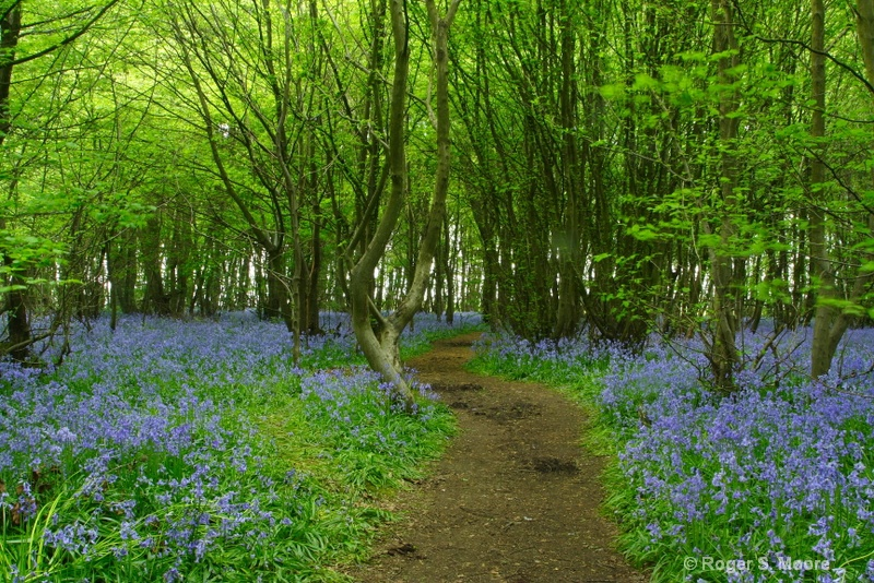 Heartwood Forest with Bluebells