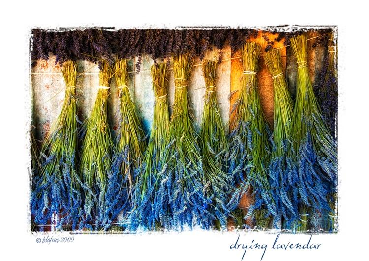 Drying Lavendar