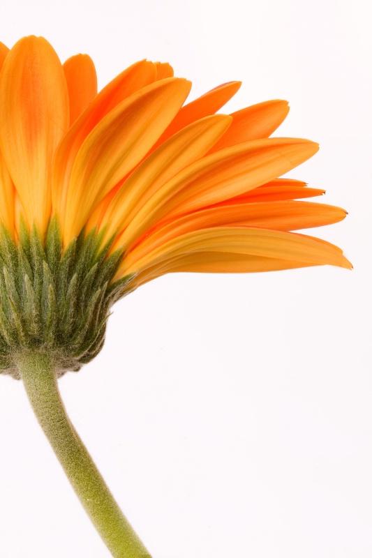 Lone Flower - ID: 8958361 © Laura Wald