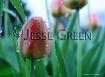 water drop tulip