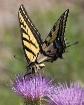 swallowtail at wo...