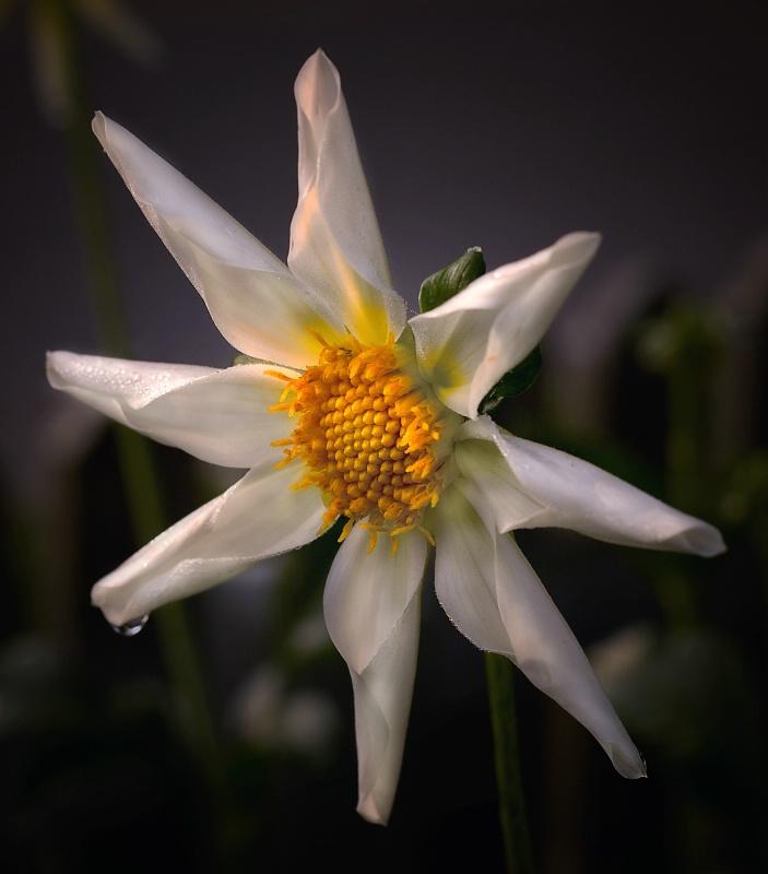 The Dahlia Star