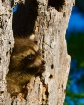 Playful Raccoon