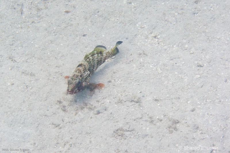 Red Lizardfish,  Francis Bay, St. John, USVI - ID: 8989411 © Sharon E. Lowe