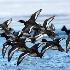 © Danny L. Klauss PhotoID # 8998844: Bluebills over Ice