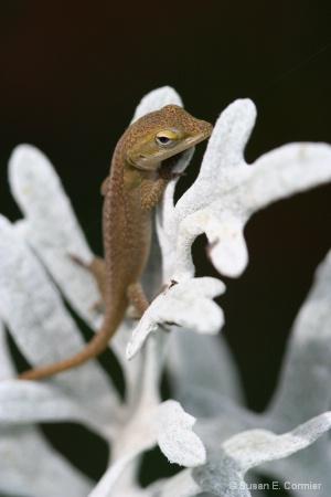 baby lizard on dusty miller
