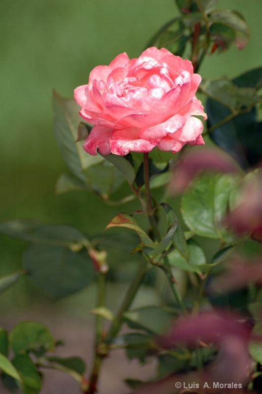Rose - ID: 9010168 © Luis A. Morales