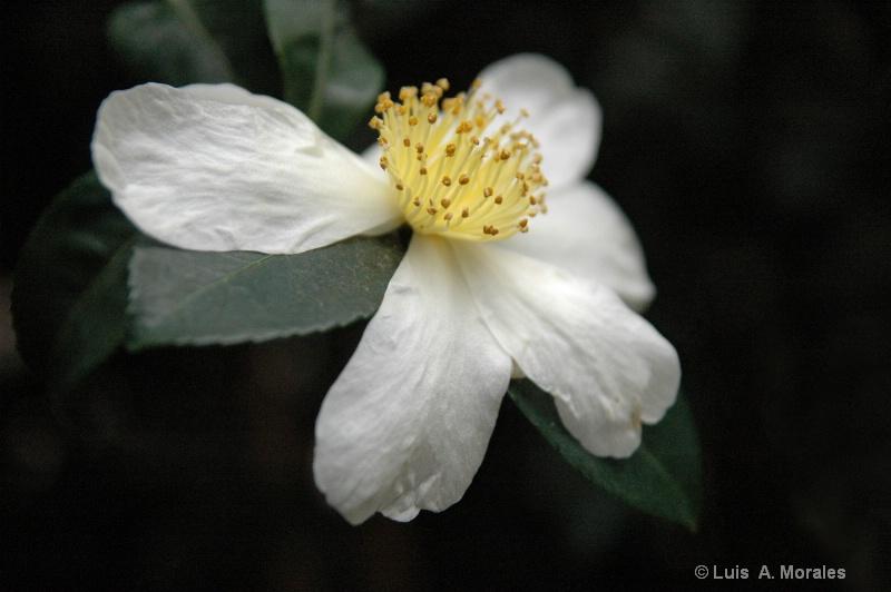 Crown ~ n ~ White - ID: 9010210 © Luis A. Morales