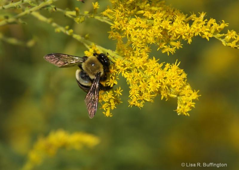 Bumble Bee - ID: 9038706 © Lisa R. Buffington