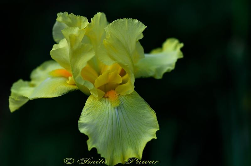 The Yellow Fellow