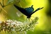 Swallowtail Landi...
