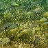 © Sharon E. Lowe PhotoID # 9052592: Grunts, Cielo Reef, Cozumel