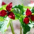 2Red Trilliums - ID: 9053916 © Eric Highfield