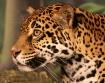 Watchful Jaguar