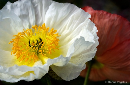 Complimentary Poppies