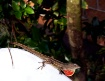 Brown Anole Lizar...