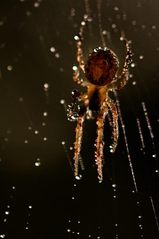 Wet spider - ID: 9156793 © Krystian Madejski