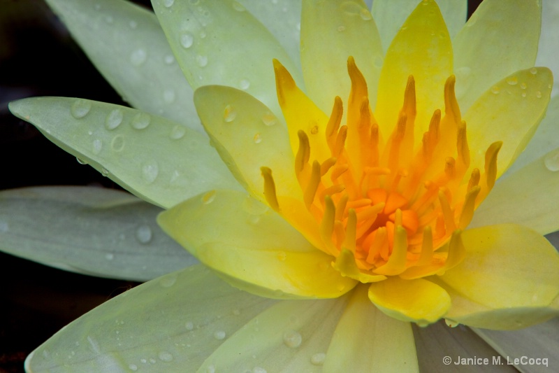 Water Lily - ID: 9158143 © Janice  M. LeCocq