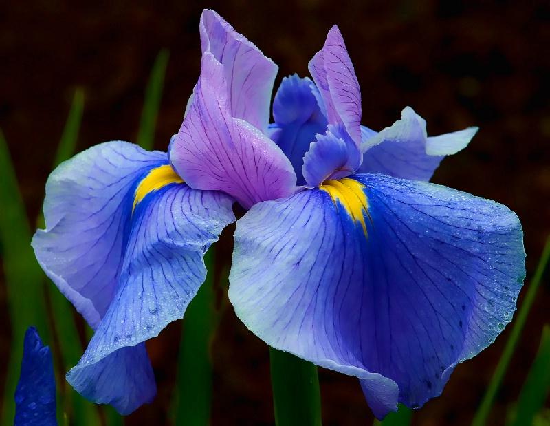 Iris Blues