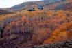 Forest of Aspen