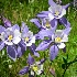 © Sharon E. Lowe PhotoID # 9167888: Wild Blue Columbine