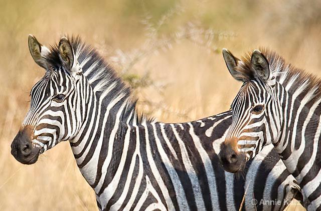 zebras 2 - ID: 9169068 © Annie Katz