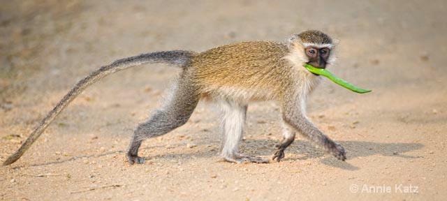 monkey on the move 1 - ID: 9169507 © Annie Katz