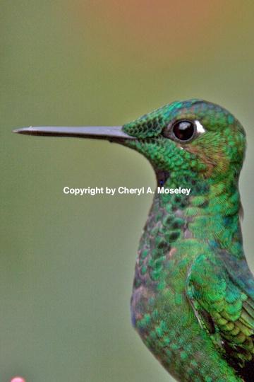 - ID: 9171799 © Cheryl  A. Moseley