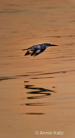 kingfisher on the fly - ID: 9174166 © Annie Katz