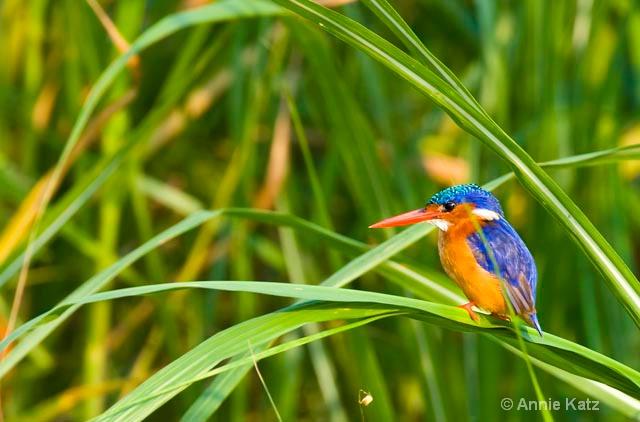 malachite kingfisher - ID: 9174169 © Annie Katz