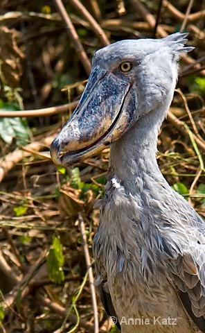 shoe-billed stork  captive  - ID: 9174172 © Annie Katz